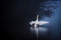 天鹅舒展在有薄雾的湖的翼 免版税图库摄影