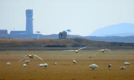天鹅被保护区 库存图片