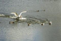 天鹅追逐了鸭子 免版税库存照片