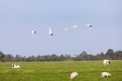 天鹅飞行在有绵羊和母牛的绿色草甸在荷兰 库存照片