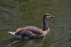 天鹅鹅(分析服务公司cygnoides)游泳 库存图片