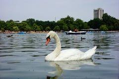 天鹅,海德公园,伦敦 免版税图库摄影