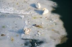 天鹅 三只天鹅坐冰在冻河 免版税库存图片