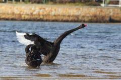 黑天鹅(天鹅座Atratus) 免版税库存照片