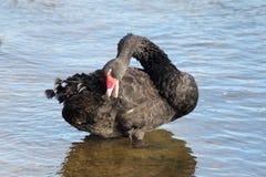 黑天鹅(天鹅座Atratus) 图库摄影
