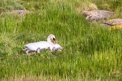 天鹅(天鹅座olor)与小鸡 免版税库存照片