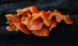 天鹅绒小腿真菌 免版税库存图片
