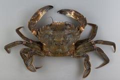 天鹅绒游水螃蟹 免版税库存图片