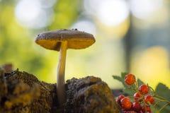 天鹅绒牛肝菌在森林里 库存照片