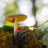 天鹅绒牛肝菌在森林里 免版税库存照片