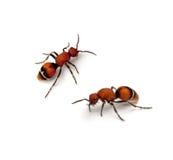 天鹅绒蚂蚁 库存照片