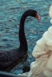 黑天鹅 库存图片