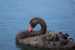 黑天鹅 免版税库存图片
