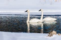 天鹅Simming通过冰狭窄的渠道  免版税库存图片