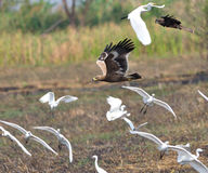 天鹰座最佳的鸟老鹰nipalensis牺牲者rapax干草原 库存图片