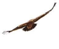 天鹰座最佳的鸟老鹰nipalensis牺牲者rapax干草原 免版税库存照片