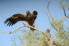 天鹰座最佳的鸟老鹰nipalensis牺牲者rapax干草原 免版税图库摄影