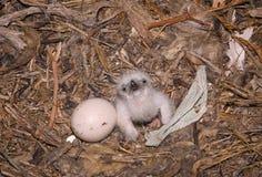 天鹰座老鹰刚孵出的雏nipalensis干草原 免版税库存照片