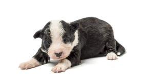 8天年纪杂种小狗 库存图片