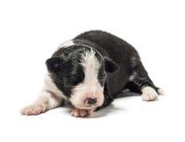8天年纪杂种小狗 免版税库存图片