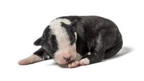 3天年纪杂种小狗 库存图片