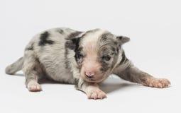 3天年纪杂种小狗 图库摄影