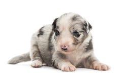21天年纪杂种小狗 库存照片