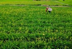 天Lillies,玉里, Tainwan的领域 库存图片