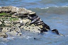 太平洋公用印章,海豹属vitulina richardsi, 3 库存图片