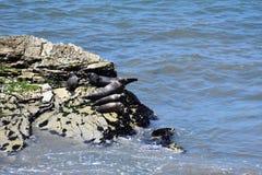 太平洋公用印章,海豹属vitulina richardsi, 2 免版税图库摄影