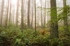 太平洋西北地区森林在一个有雾的早晨 免版税库存照片