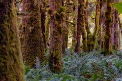 太平洋西北地区的生苔巨人 库存图片