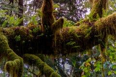 太平洋西北地区的生苔巨人 图库摄影