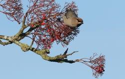 太平鸟哺养在花楸浆果的Bombycilla garrulus 免版税库存照片