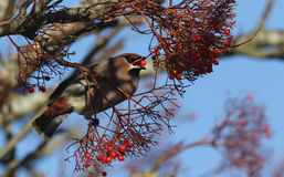 太平鸟哺养在花楸浆果的Bombycilla garrulus 免版税库存图片