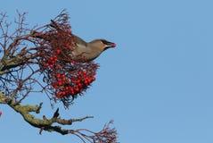 太平鸟哺养在花楸浆果的Bombycilla garrulus 库存照片