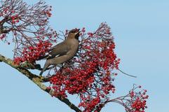 太平鸟哺养在莓果的Bombycilla garrulus 免版税库存图片