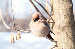 太平鸟喜欢恼怒的鸟 库存照片