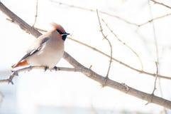 太平鸟喜欢恼怒的鸟 库存图片