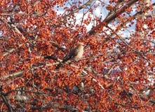 太平鸟掩藏在花揪中分支的Bombycilla garrulus  在后面的蓝天 库存照片