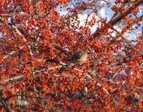 太平鸟掩藏在花揪中分支的Bombycilla garrulus  图库摄影