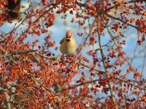 太平鸟掩藏在花揪中分支的Bombycilla garrulus  库存照片