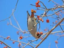 太平鸟鸟和红色苹果 免版税库存照片