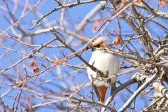 太平鸟鸟Bombycilla garrulus画象坐一棵野苹果树 库存图片