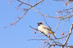 太平鸟Bombycilla garrulus画象坐一棵野苹果树 库存图片