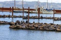 太平洋西北地区海狮和封印 库存照片