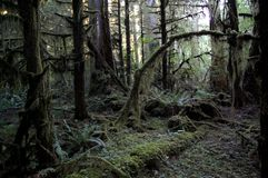 太平洋西北地区道格拉斯冷杉木 图库摄影