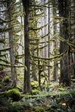 太平洋西北地区雨林。 图库摄影