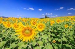 太阳与蓝天的花田 免版税库存图片
