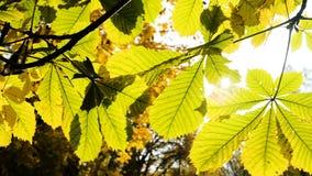 太阳光芒发光在栗子叶子,照相机运动特写镜头之间 慢的行动 影视素材